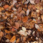 名残の落ち葉掃き。